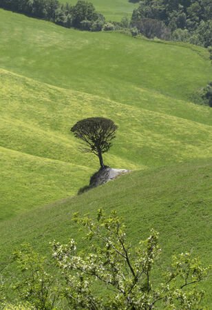Lonesome Stone Pine on a greean meadow close to Volterra photo