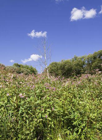 biosphere: Impatiens Glanduliferia and Birch in the biosphere reserve of Spreewald Germany