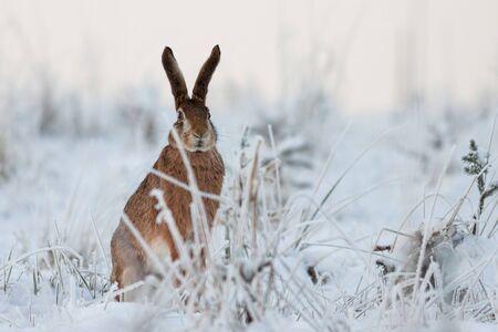 Rabbit in winter, European hare, Lepus europaeus, Slovakia Standard-Bild