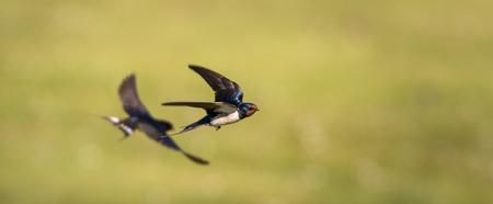 Boeren zwaluwen vliegen over een veld