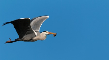 grey heron hunting for a rodent Stock Photo