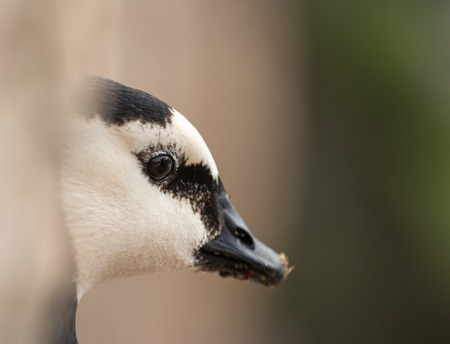 close up portrait of a barnacle goose looking sad Stock fotó