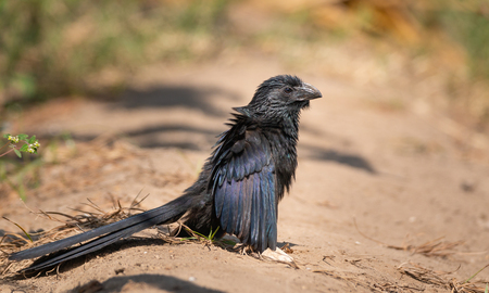 Groove billed ani drying his wings in the sun
