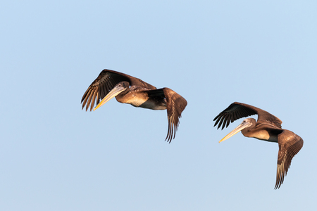 2 pelicans flying in a blue sky
