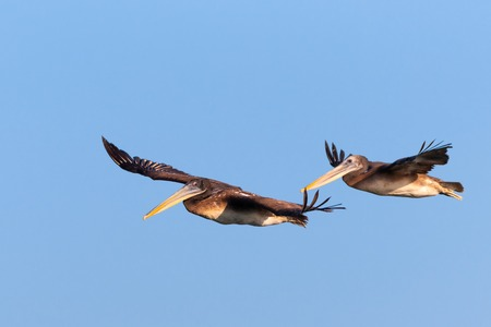 brown pelicans flying in formation in a blue sky