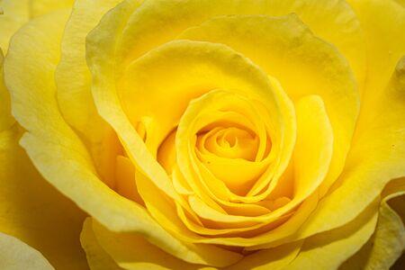 Gros plan d'une rose montrant ses beaux pétales jaunes Banque d'images