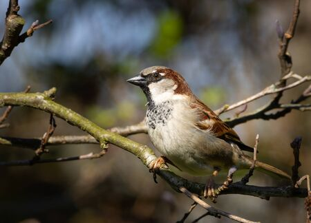 Portrait of a male house sparrow sitting on a tree branch looking for food. Close up.