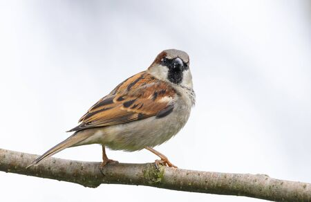 Animal wildlife, house sparrow looking for food, sitting on a tree branch.