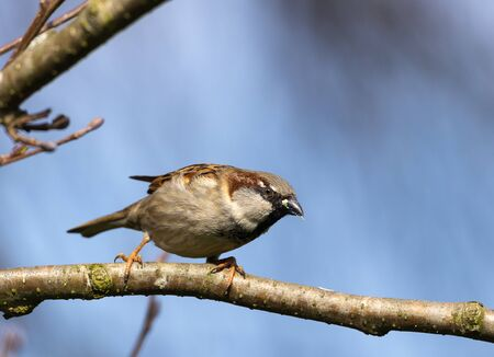 Animal wildlife, house sparrow looking for food, sitting on a tree branch. Standard-Bild