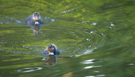 Coot chicks swimming on a river, looking for their nest .