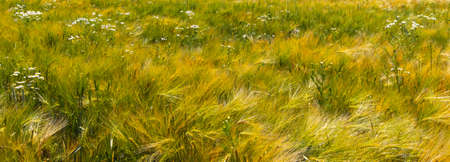 A wheat field during summer on a beautiful day. Close up