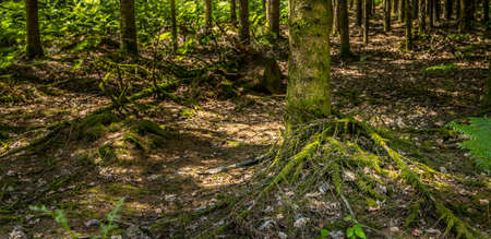 Panorama of a green forest during summer time. Old trees. Banque d'images