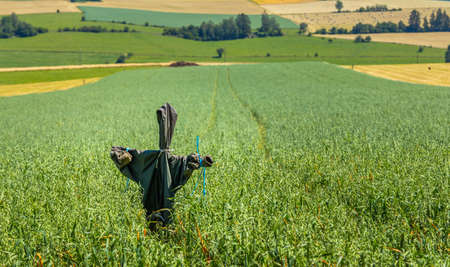Scarecrow overlooking a agricultural field