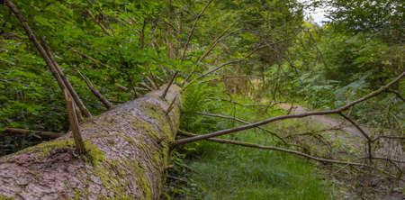 Old fallen tree in the Belgian Ardennes in the region of Bouillon during summer time.