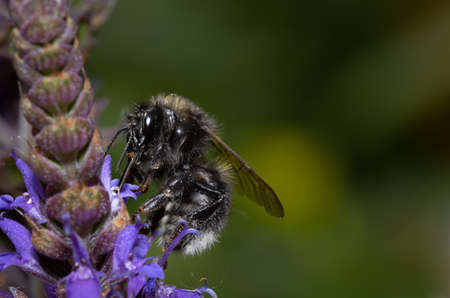 A wild bee looking for nectar on a purple flower with copy space.