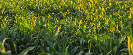 A field of young corn plants during sunset in the summer.