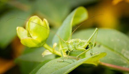 A green grasshopper sitting on a leaf ready to jump. Banque d'images