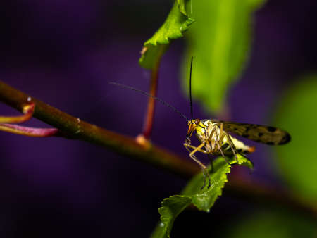 Close up of a scorpion fly standing on a leaf, with copy space.