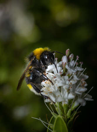 Close up of a Bumblebee collecting nectar from a white flower during summer.