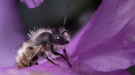 Close up of a early mining bee sitting on a purple flower looking for nectar.