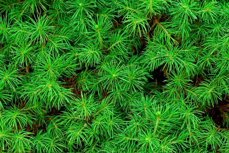 Close-up of frech green needles om a tree