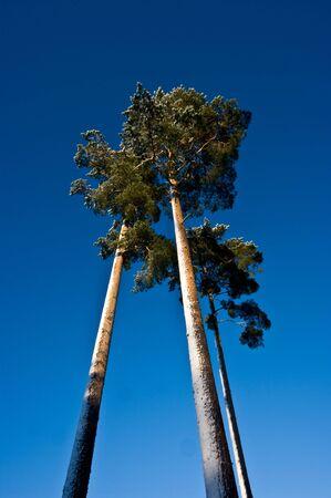 Tree high pine-trees Stock Photo