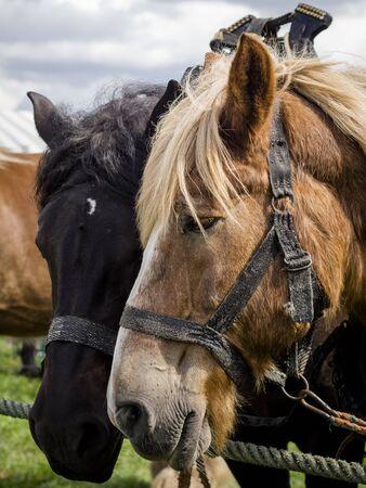belgian: Belgian horses