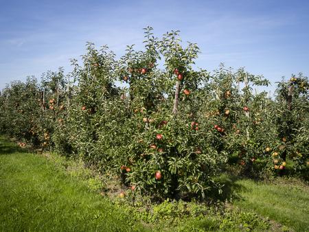 Boomgaard met appelbomen