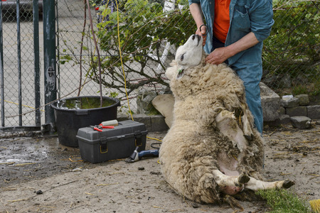 shearer: Man is busy shaving a sheep