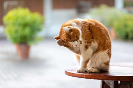 Brown-white cat sits outside on a table and cleans itself and its fell, horizontal format taken from the front. Horizontal Stock fotó