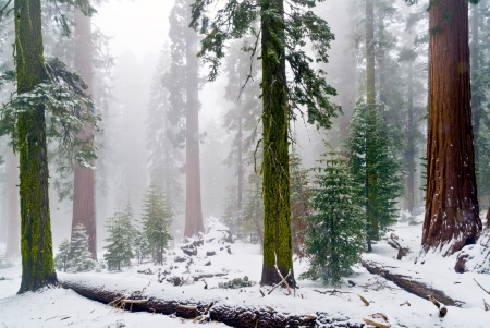mariposa: Fog and snow cover the gaint sequoias of the Mariposa Grove in Yosemite  Stock Photo