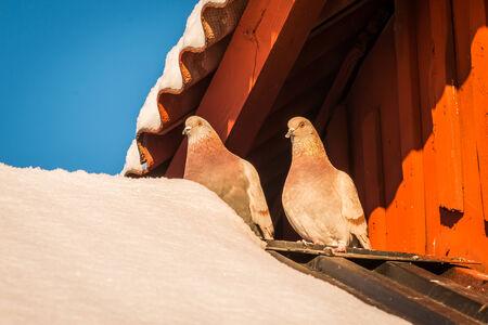 lovebirds: Love-Birds Stock Photo