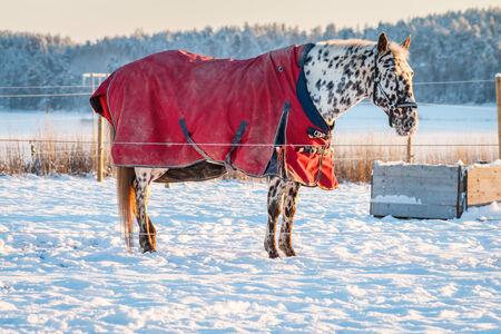 appaloosa: Appaloosa horse in the winter sun