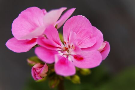 beautiful and brittle pink flower Zdjęcie Seryjne
