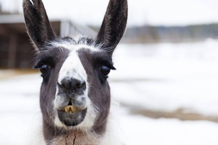 chewing llamas during winter time at Mickelbo near Umea