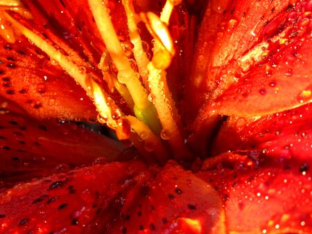 stamens and pistils closeup on red flower Imagens