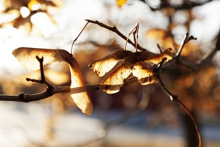 withered maple noses in backlight in late autumn in Umea