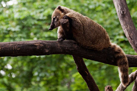 brown raccoon sitting on a branch