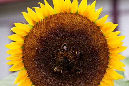 four bumblebees landing on a sunflower