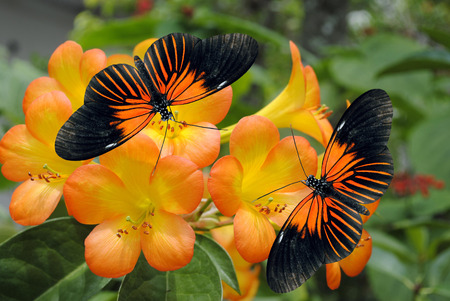 Tropical Rhododendron simbu sunset flowers with 2 Doris Longwing Butterflies photo