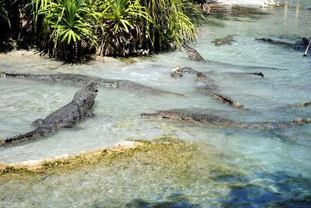 alligators: American alligators, alligator mississippiensis