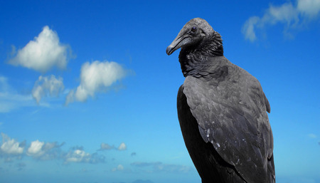 Black Vulture Latin name Coragyps atratus photo