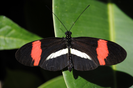 longwing: Crimson-patched Longwing Butterfly