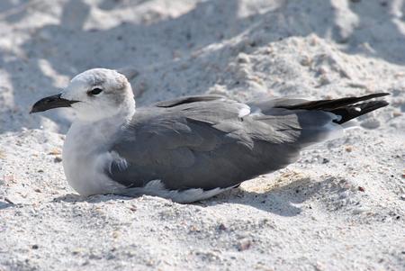 waterbird: Gull-billed Tern  Stock Photo