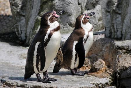 waterbird: Humboldt Penguins Latin name Spheniscus humbolti
