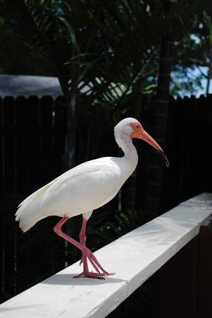ciconiiformes: White Ibis Latin name Eudocimus albus