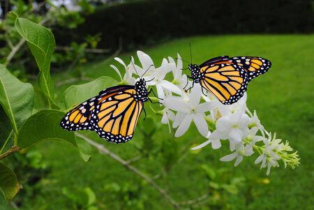 Monarch butterflies Latin name Danaus plexippus photo