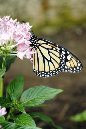 plexippus: Monarch butterfly Latin name Danaus plexippus