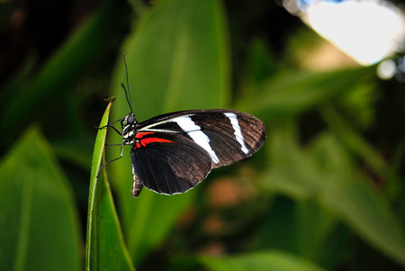 longwing: Zebra longwing butterfly Latin name Heliconius charitonius