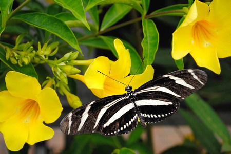 Zebra Longwing butterfly on a Allamanda cathartic flower photo